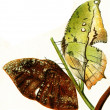 Butterflys imitating leaves of trees — Stock Photo #11874145