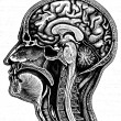 Cerebrum - Stock Photo