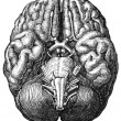 Stock Photo: Cerebrum