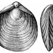 Terebratula numismalis, Brachiopod — Stock Photo