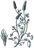 Plantas forrageiras - serie de ilustração de publi o livre — Fotografia Stock