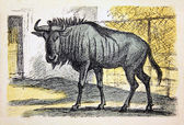 USSR - CIRCA 1939: Reproduction of antique postcard shows Wildebeest, circa 1939 — Stock Photo