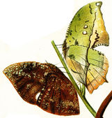 Butterflys imitating the leaves of trees — Stock Photo