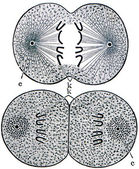 Cell division — Stock Photo