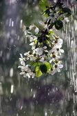 Fruit tree blossom — Stock Photo