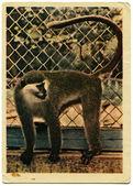 Yeşil maymun — Stok fotoğraf