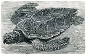 żółw szylkretowy — Zdjęcie stockowe