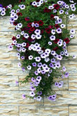Petunias — Stock Photo