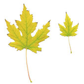 Yellowed maple leaves — Stock Photo