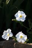 White flowers on black background — Stock Photo
