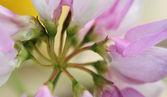 Rosa orquídea — Foto de Stock