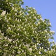 Chestnut tree branches with white blossoms — Stock Photo
