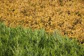 Close-up of green and yellow cypress (thuja) — ストック写真