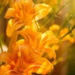Orange lilies — Stock Photo