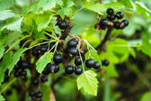Blackcurrant bush — Stock Photo