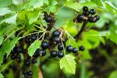 Blackcurrant bush — Stock Photo