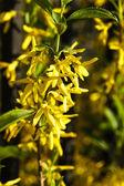 Forsythia flowers bush — Stock Photo