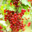Red currant bush — Stock Photo
