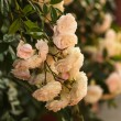 A bush of white roses — Stock Photo