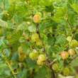 Stock Photo: Bush of gooseberry