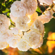Stock Photo: A bush of white roses