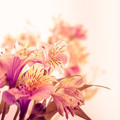 Pink alstroemeria isolated — Stock Photo