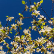 Blossoming of magnolia flowers in spring time — Stock Photo #11622766