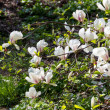 Stock Photo: Blossoming of magnolia flowers in spring time