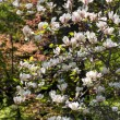 Blossoming of magnolia flowers in spring time — Stock Photo #11622771