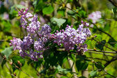 Green branch with spring lilac flowers — Stock Photo