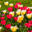 Stock Photo: Tulips in spring sun