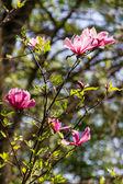 Blüte der magnolia blumen im frühling — Stockfoto