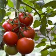 Постер, плакат: Tomatoes on a branch
