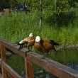 A pair of Ruddy Shelducks. — Stock Photo