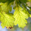 Foto de Stock  : Oak leaves