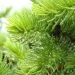 Pine branch with raindrops — Stock Photo #11419500