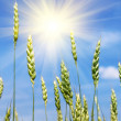 Green wheat ears and sun — Stock Photo