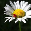 Camomile flower with ladybug — Stock Photo