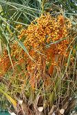 Palmboom met vruchten — Stockfoto