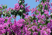 Beautiful bougainvillea flowers — Foto Stock