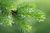 Pine branch with raindrops — Stockfoto