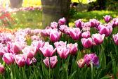Tulpe Blume — Stockfoto