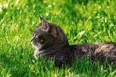 Cat lying on grass — Stock Photo