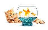 Akvaryum balığı ve kedi — Stok fotoğraf