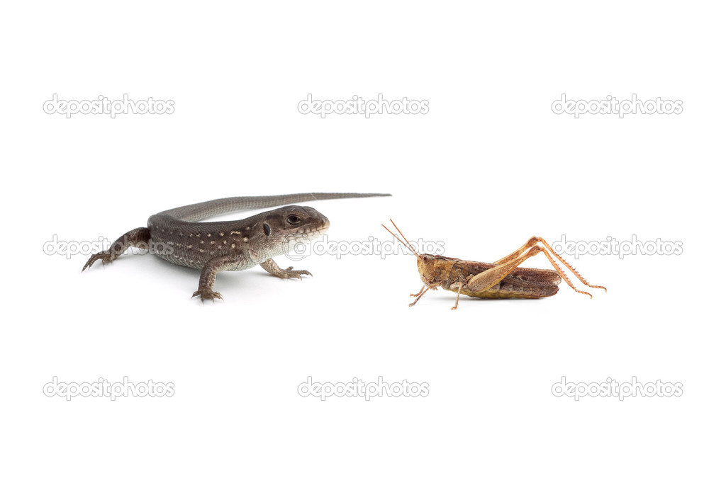 Two lizards and a grasshopper isolated on white background — Stock Photo #11096005