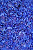 Beautiful spring flowers blue cornflower on background — Stock Photo