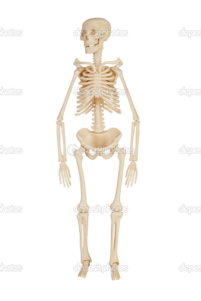 Human skeleton on a white background — Stock Photo #11042921