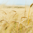 Close up of ripe wheat ears — Stock Photo
