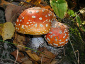 Amanita in the yellow leaves — Stock Photo