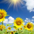 Fine sunflowers and fun sun in the sky. - Stock Photo